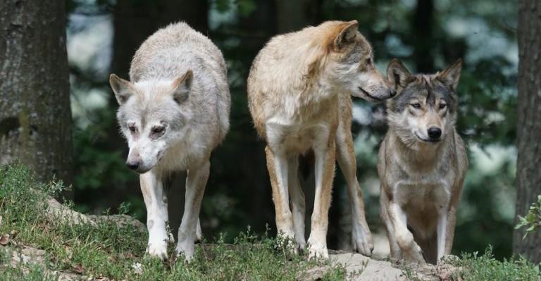 Trzy wilki rozszarpały psa pod Sanokiem! 150 metrów od domu (ZDJĘCIA)