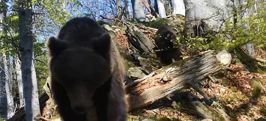 """Bieszczadzkie miśki przemierzają granice nadleśnictw, pozując do kamery! Niedługo zaczynają się też """"niedźwiedzie amory"""" (FILMY)"""