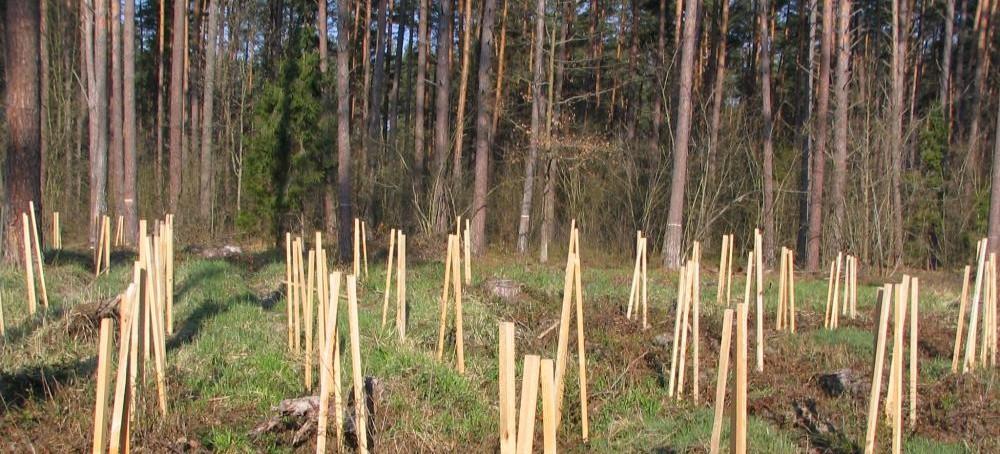 """""""Malowanie lasu"""". Ma zniechęcić zwierzynę do zgryzania sadzonek (ZDJĘCIA)"""