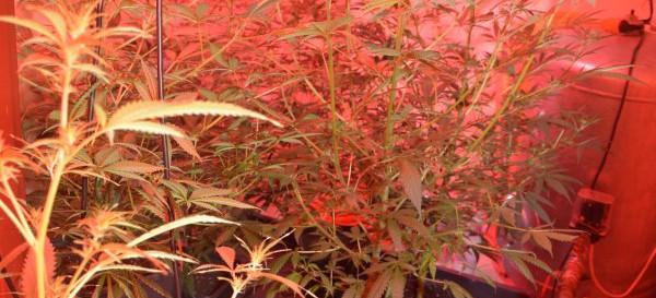 PODKARPACIE. Zlikwidowana uprawa marihuany. Zatrzymany 68-latek