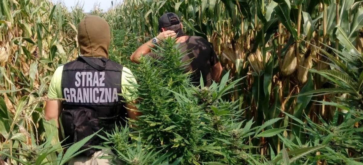 Marihuana wśród kukurydzy (FOTO)