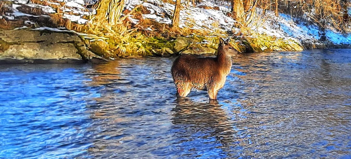 To nie zimowa kąpiel. To wilcze polowanie (ZDJĘCIE)