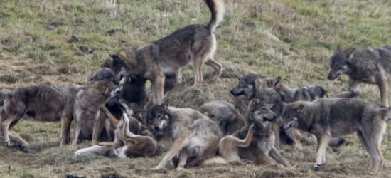 Wygłodniała wataha wilków w Bieszczadach (FOTO)