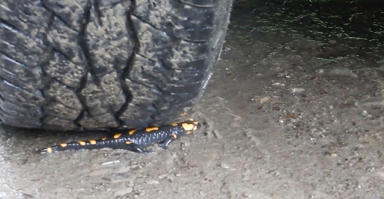 Po deszczu salamandry mają pierwszeństwo na bieszczadzkich drogach (VIDEO)