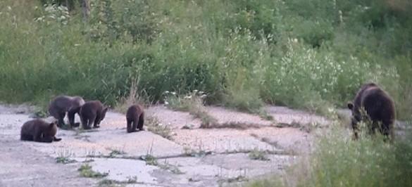 """BIESZCZADY: Niedźwiedzica urodziła aż cztery niedźwiadki? """"Nieprawdopodobne zjawisko"""" (FOTO)"""