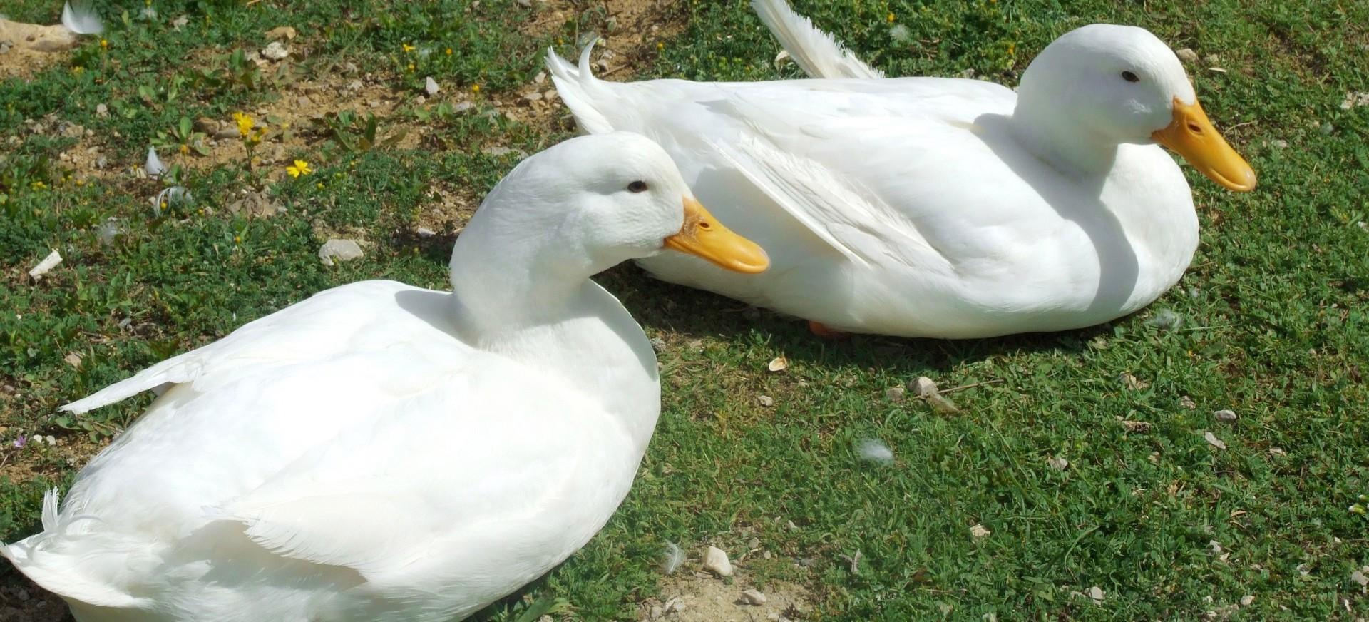 PODKARPACIE: 34-latek ukradł i zjadł dwie kaczki!
