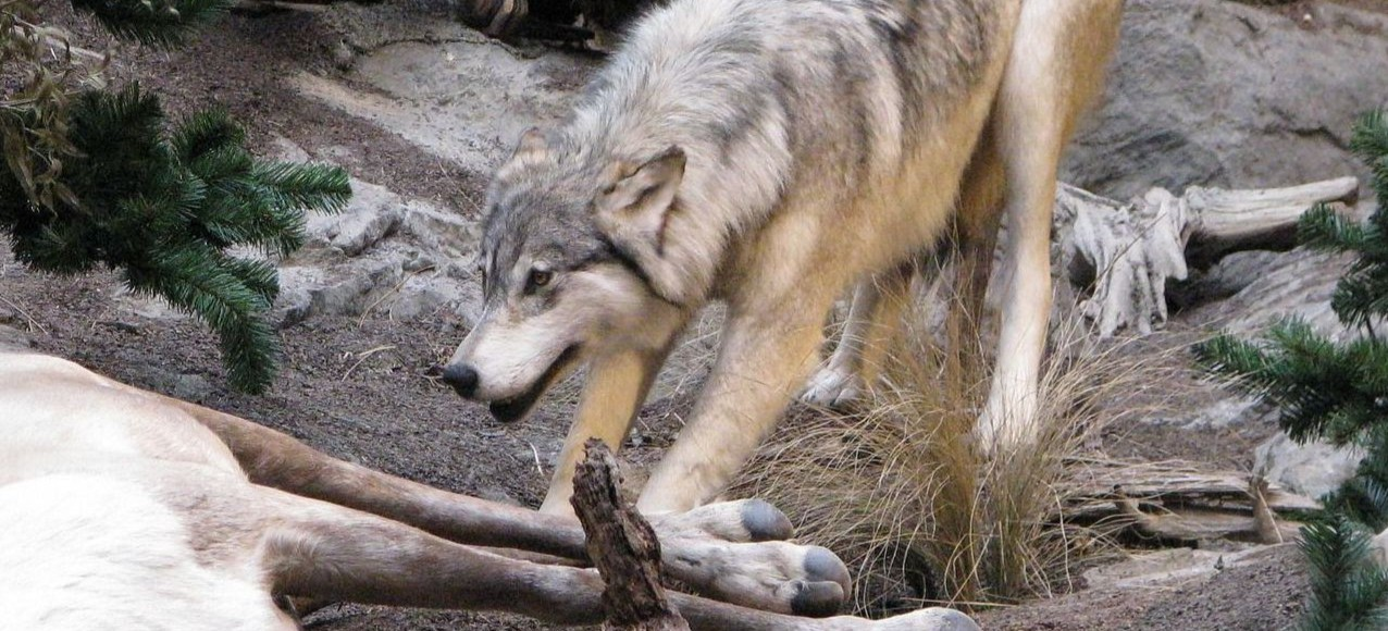 BIESZCZADY. Ataki wilków. Wzrasta zagrożenie dla mieszkańców! (WIDEO)