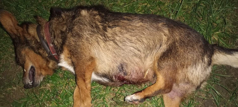 Ktoś zastrzelił psa w Grabownicy (ZDJĘCIA)