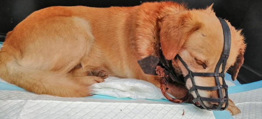 """BESTIALSTWO. Obroża """"wrośnięta"""" w szyję psa. Policja szuka właściciela!"""