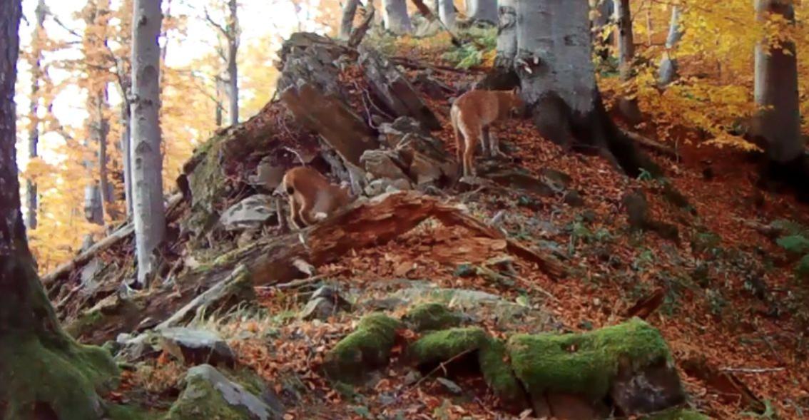 BIESZCZADY: Młody ryś podąża za mamą. Uroczy kociak! (VIDEO)