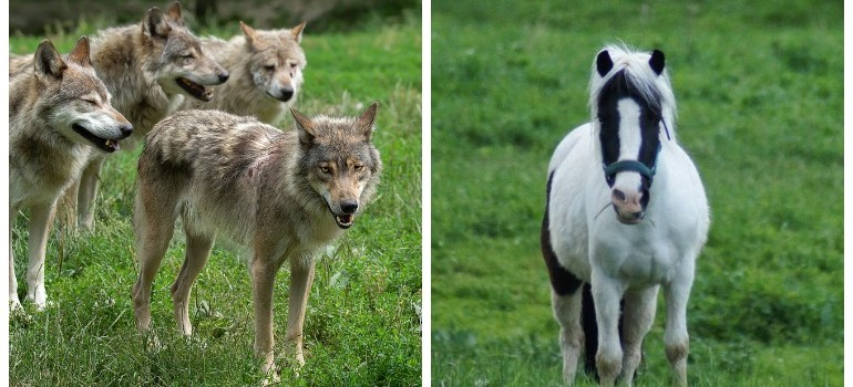 BIESZCZADY: Wilki zaatakowały konia tuż przy stajni!
