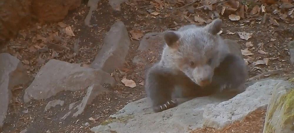 """""""Kiedy niedźwiadki wchodzą leśniczemu na buty…"""". Uwaga, zawsze w pobliżu jest też mama! (FILM)"""