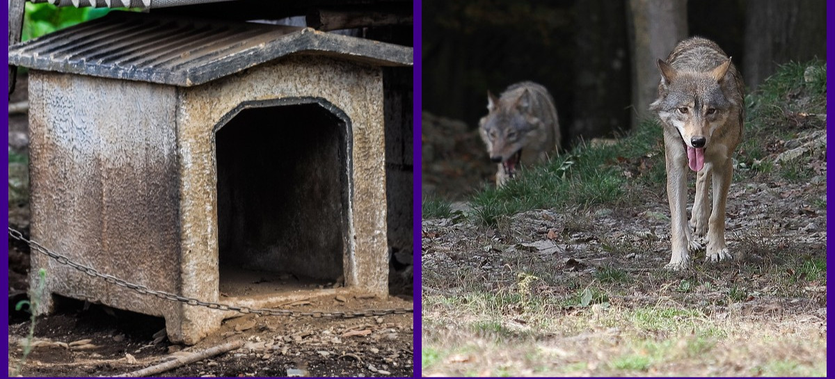 """Ataki wilków. W ciągu 8 miesięcy """"zniknęło"""" 30 psów!"""