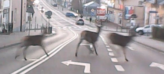 Trzy sarny wbiegły na ulicę w centrum miasta. ZOBACZ VIDEO