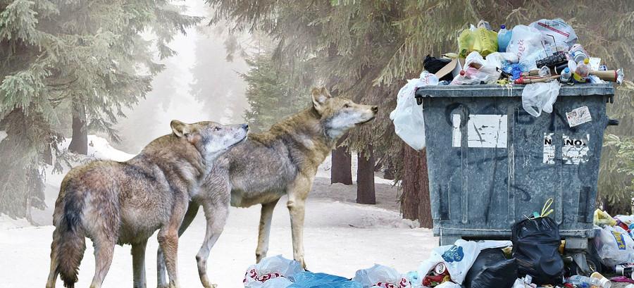 Sekcja zwłok odstrzelonych wilków. Jadły ze śmietników (VIDEO, ZDJĘCIA)