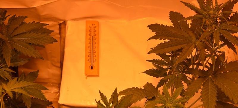 Pokaźna uprawa konopi. Zabezpieczyli 2 kg marihuany (ZDJĘCIA)