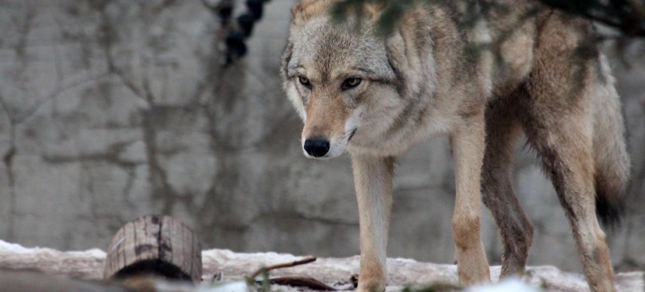 PODKARPACIE: Przerażona wybiegła ze stodoły. Na sianie leżał… wilk!