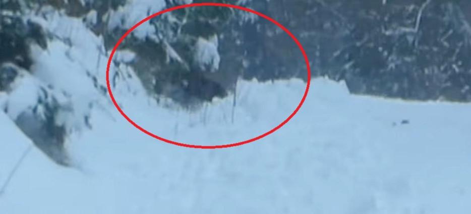Niedźwiedzie nie śpią. Spotkał matkę z trójką młodych (VIDEO)