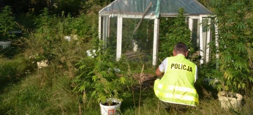 Policja zlikwidowała uprawę marihuany
