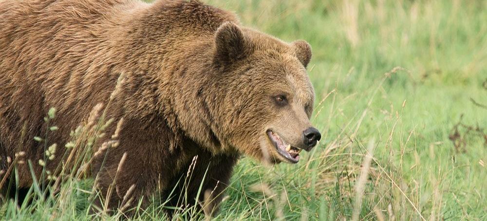 KOMAŃCZA: Atak niedźwiedzia. Mężczyzna ma głębokie, szarpane rany