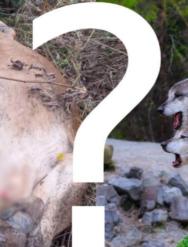 Martwa krowa z odgryzionymi wymionami. Czy w Niebieszczanach zaatakowały wilki? (DRASTYCZNE)