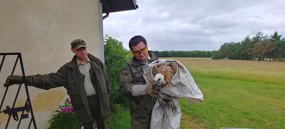 Sęp odzyska wolność w Bieszczadach (ZDJĘCIA)