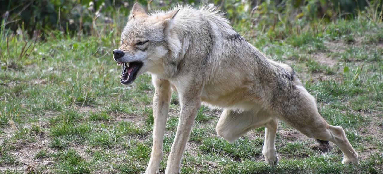 """Ataki wilków. Psy """"wydzierane"""" z bud (DRASTYCZNE ZDJĘCIA)"""
