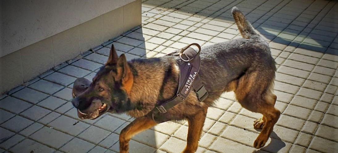 Pies służbowy EURO wytropił imigrantów