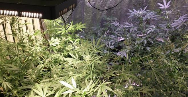 W mieszkaniu plantacja marihuany. Sprawa ma charakter rozwojowy