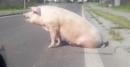 Świnia na ulicy. Uciekła z transportu do ubojni