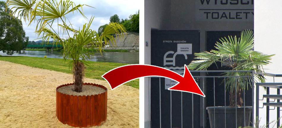 SANOK. Słynna palma już nie na plaży. Kto ją przygarnął? (VIDEO, ZDJĘCIA)