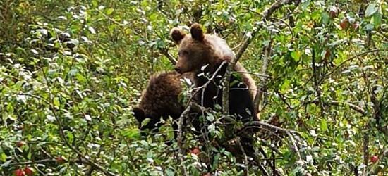BIESZCZADY: Dwa małe niedźwiadki i uczta na jabłoni! (FOTO)