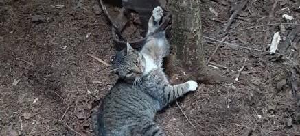 Kot wpadł w kłusowniczą pułapkę! Wnyki były zastawione na niedźwiedzia (FOTO)