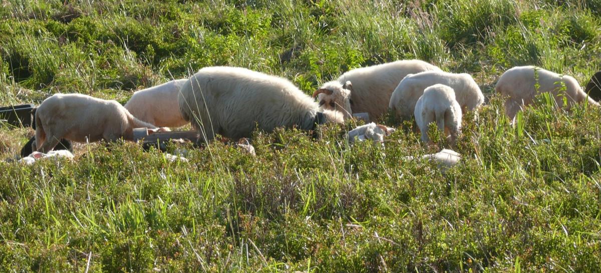 BIESZCZADY: Na połoninie cierpią owce? Dyrekcja parku zleciła kontrolę