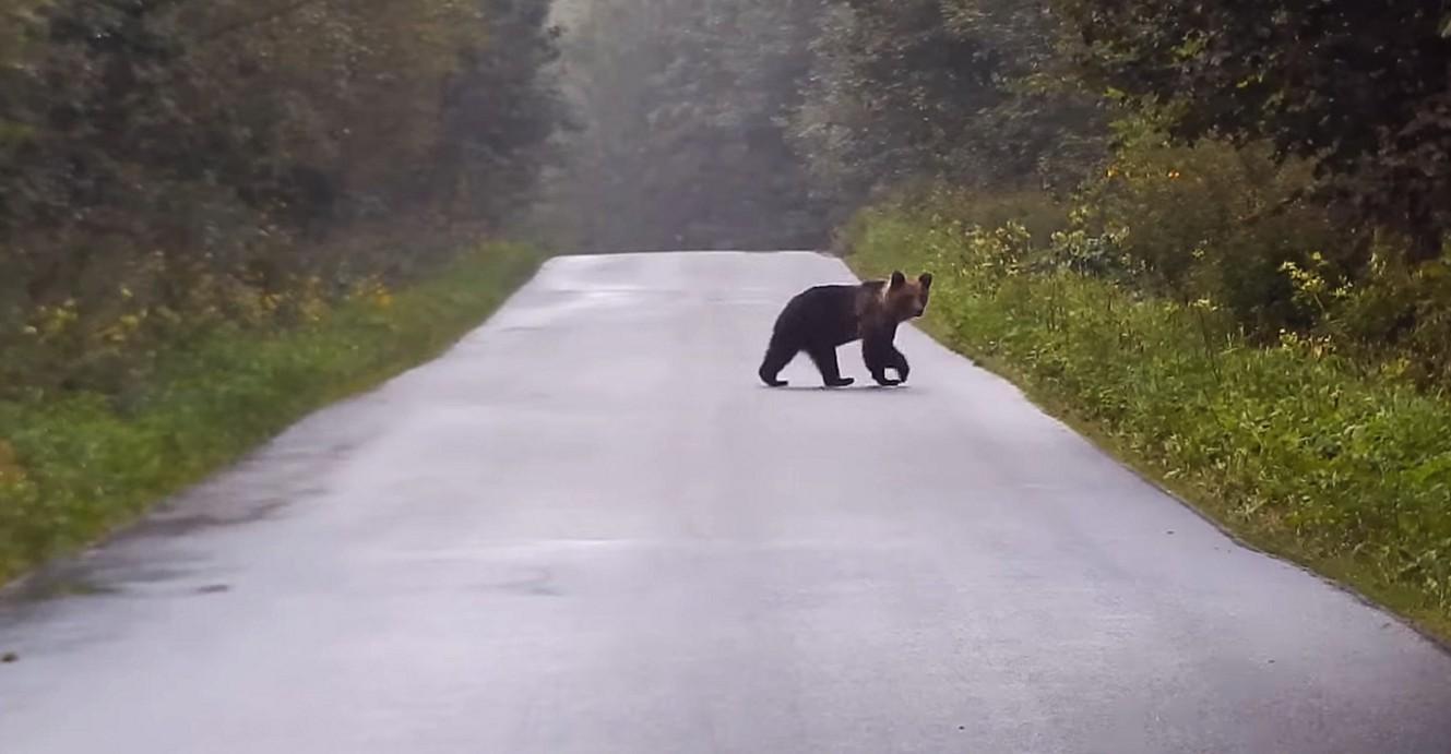Kierowco zwolnij. Misiek na drodze! (VIDEO)