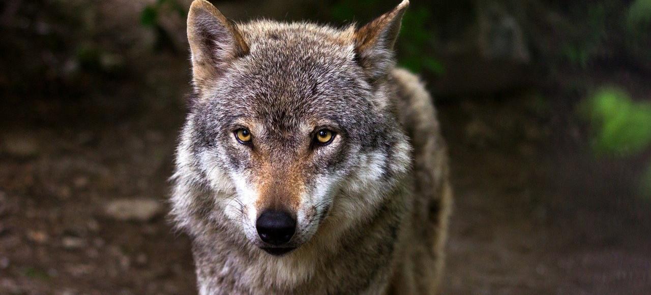 Badacze wilków: Trzeba być czujnym!