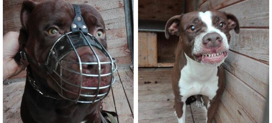 Psy, które zagryzły 12-latka zostaną uśpione