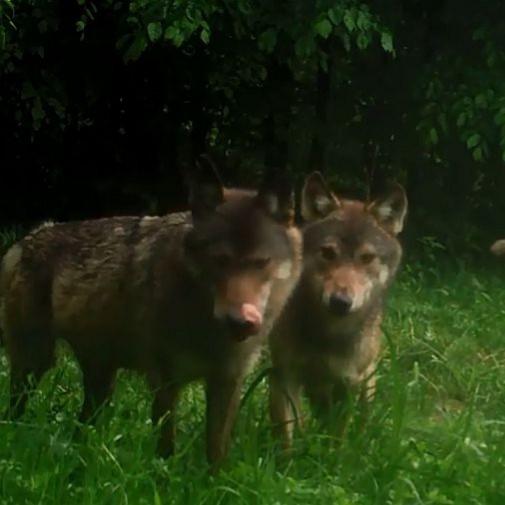 Wataha z Polanek na dzień dobry. Beztroskie wilki w oku kamery (VIDEO)