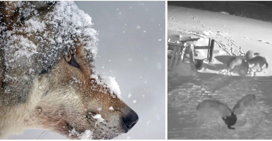Tak atakują wilki! Rozszarpane dwa psy (DRASTYCZNE VIDEO)