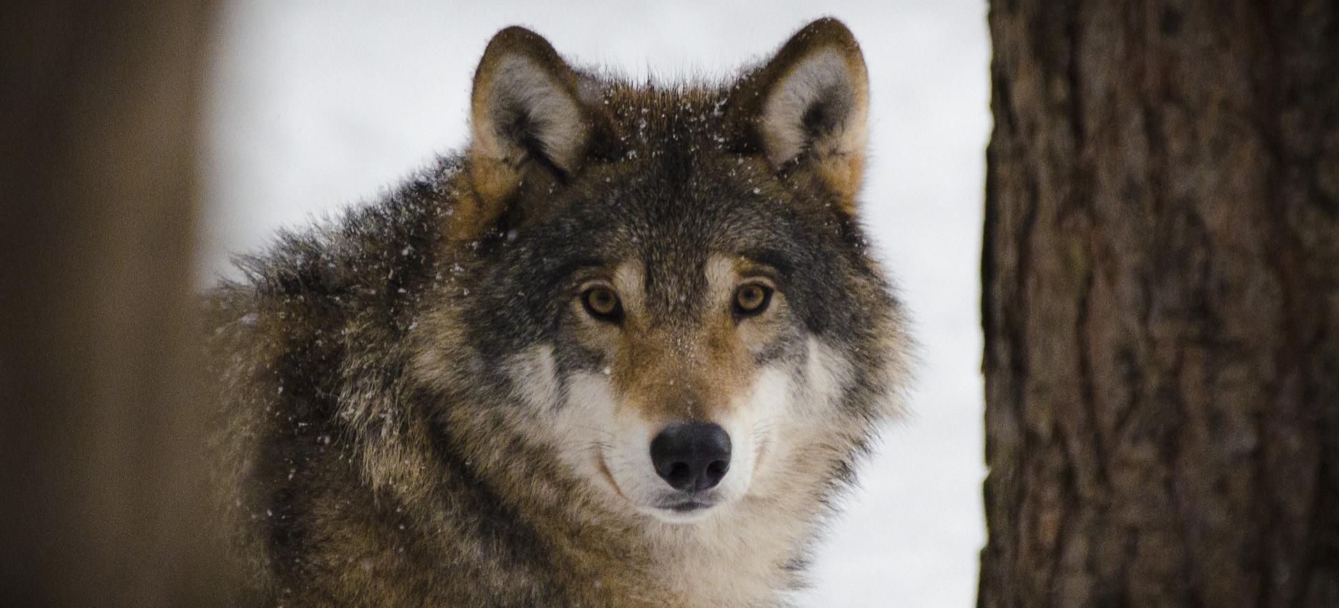 GMINA KOMAŃCZA. Wilki zagryzły psa w obecności trójki dzieci!