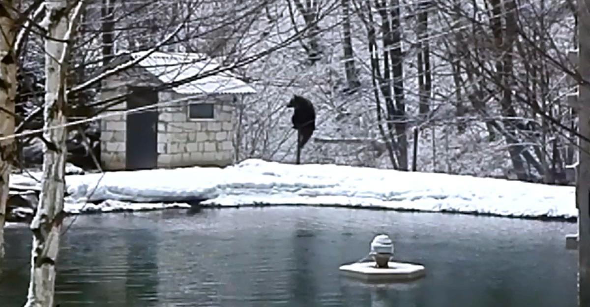 """BIESZCZADY: Niedźwiedź przechodzi przez ogrodzenie. Mieszkańcy na """"gorącej linii"""" (VIDEO)"""