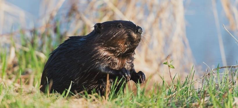 REGION: Kłusownicy polowali na bobry i przerabiali je na wędliny