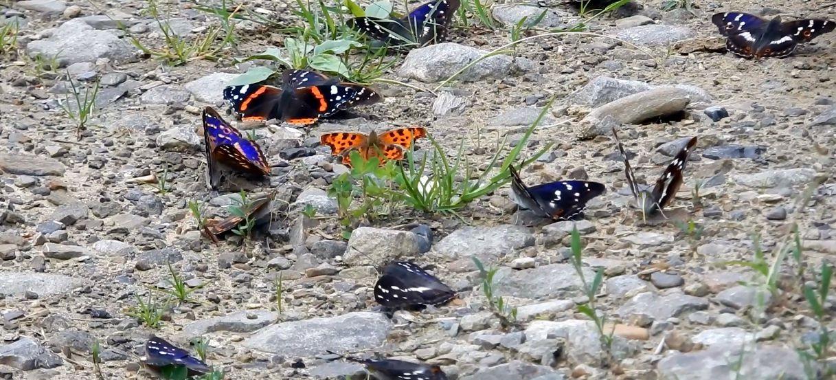 BIESZCZADY: Niecodzienne zjawisko! Mnogość różnorodnych motyli. Wiecie dlaczego? (FILM)