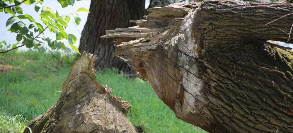 SANOK: Bobry powaliły olbrzymie drzewo. Trzeba uważać! (ZDJĘCIA)