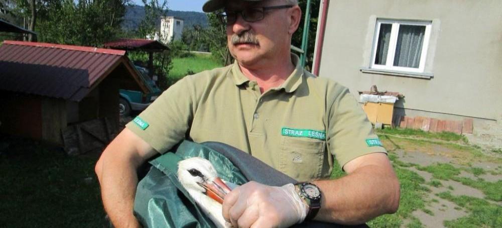 Leśnicy pomagali bocianom porażonym prądem (ZDJĘCIA)
