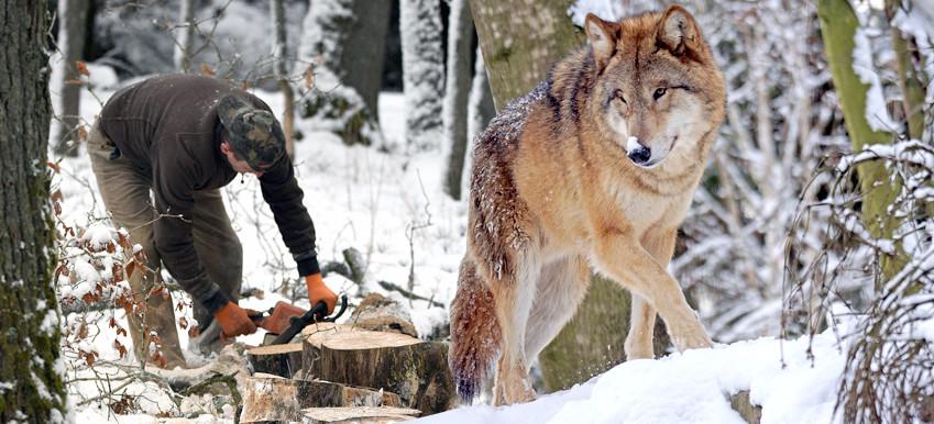 Wilki zaatakowały drwali! Odganiali je ryczącymi piłami (VIDEO)