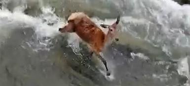 BIESZCZADY: Dwa wilki polują na łanię w wodzie. Niesamowite nagranie! (VIDEO)