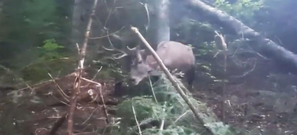 Uwolnili jelenia z wnyków! Zobacz akcję leśników! (VIDEO)