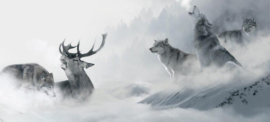 BIESZCZADY: Jelenie zagryzione przez watahę wilków (ZDJĘCIA)