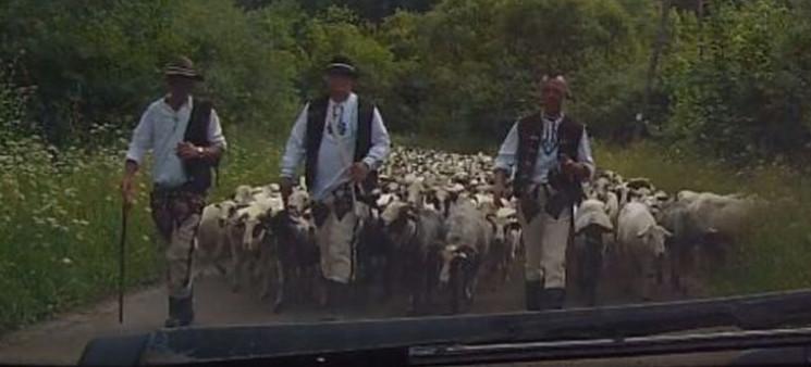 Takie rzeczy tylko w Bieszczadach! ZOBACZ korek… bieszczadzki (VIDEO)